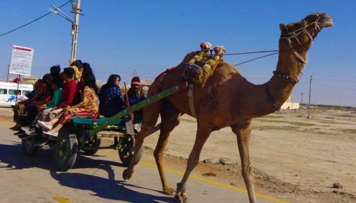 Camel Carts Rann Utsav Kutch Gujarat Travel Experience